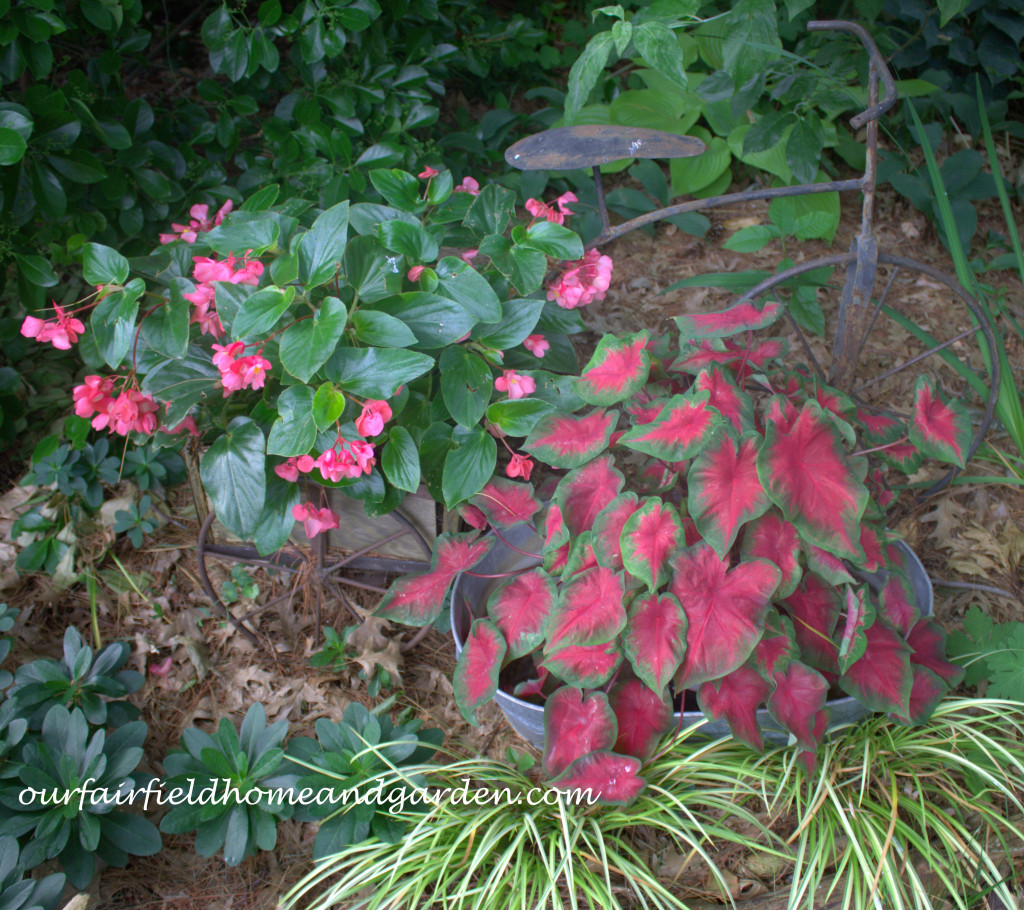 Begonias and Caladiums http://ourfairfieldhomeandgarden.com/our-fairfield-home-and-garden-tour/