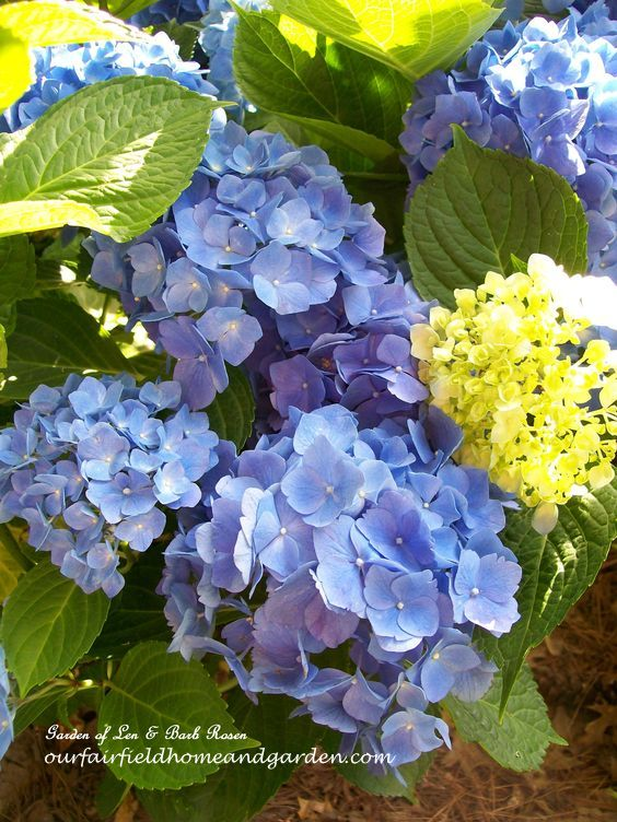 Blue Hydrangeas http://ourfairfieldhomeandgarden.com/blue-hydrangeas-how-to-get-and-keep-those-blue-blooms/