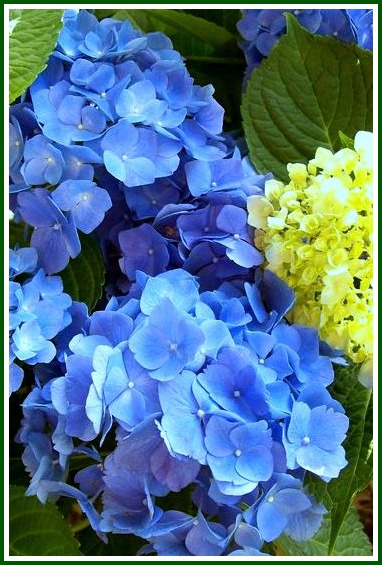 Blue Hydrangea http://ourfairfieldhomeandgarden.com/blue-hydrangeas-how-to-get-and-keep-those-blue-blooms/