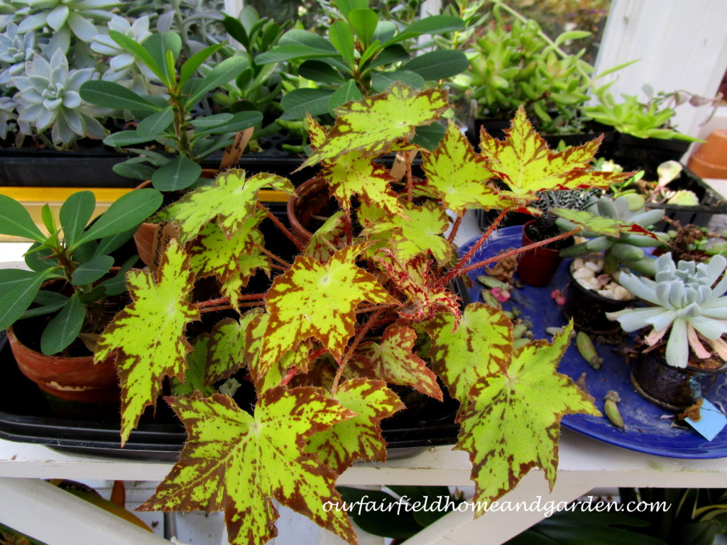 Free Houseplants http://ourfairfieldhomeandgarden.com/free-houseplants-starting-begonias-from-a-leaf/