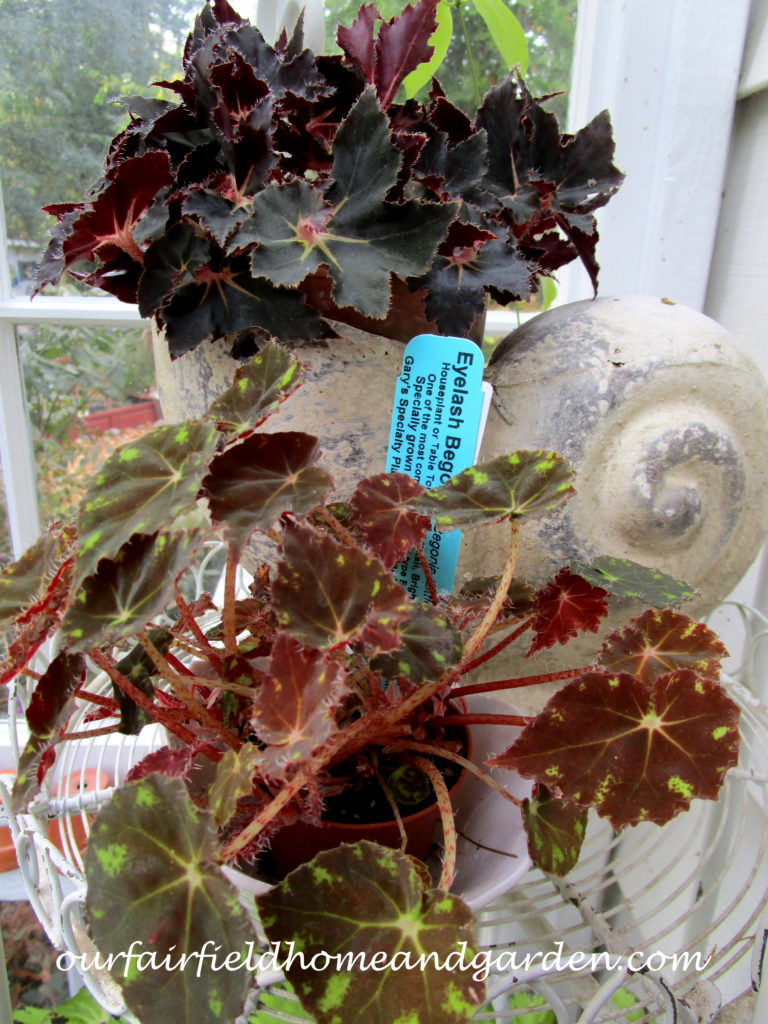 Free Houseplants https://ourfairfieldhomeandgarden.com/free-houseplants-starting-begonias-from-a-leaf/