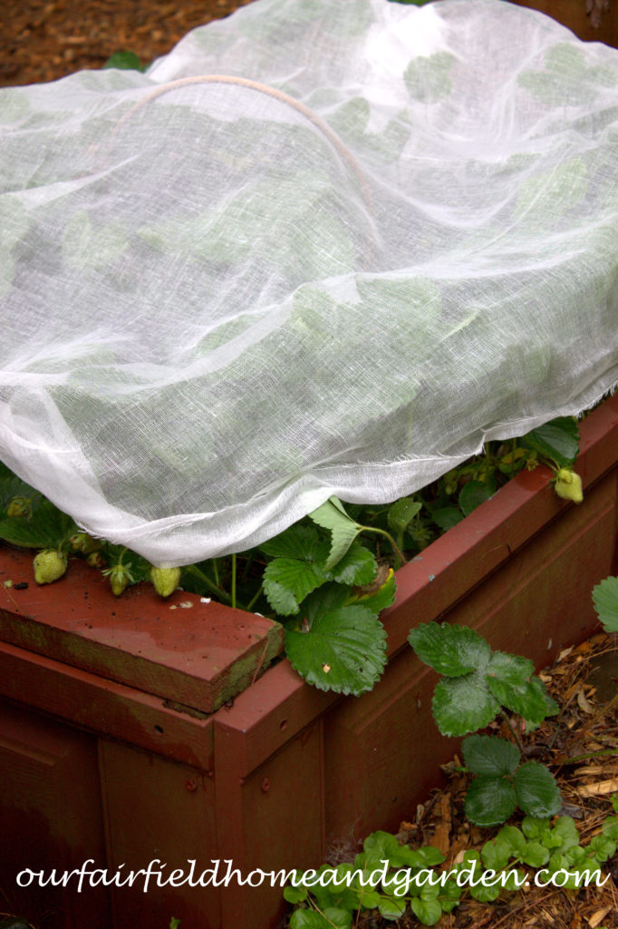 Cheesecloth in the Garden https://ourfairfieldhomeandgarden.com/cheesecloth-uses-in-the-garden-practical-and-recyclable/