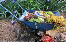 Succulent Wheelbarrow Planter