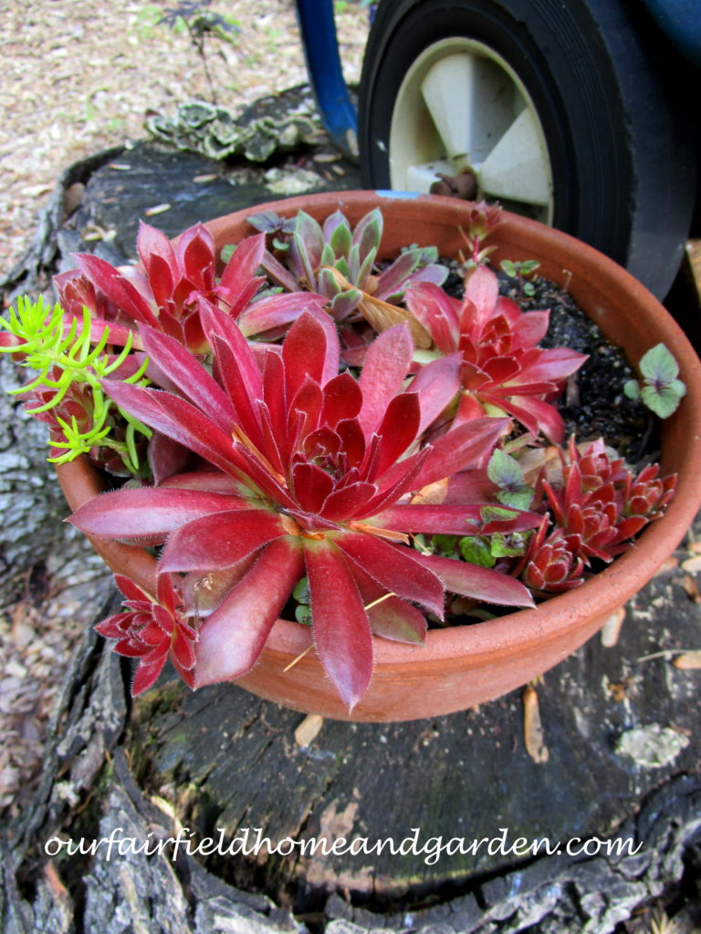 Succulent Wheelbarrow Planter https://ourfairfieldhomeandgarden.com/succulent-wheelbarrow-planter/