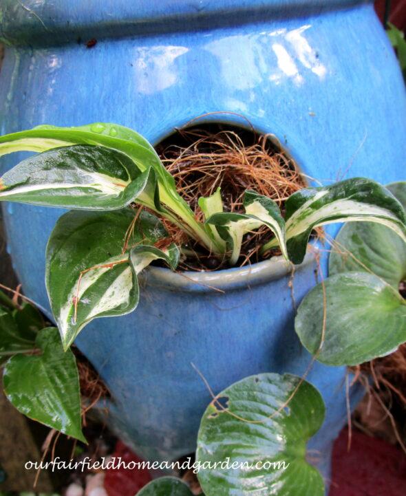 Plant Miniature Hostas in a Strawberry Pot!